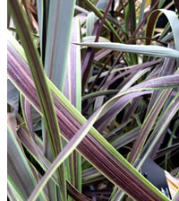 The Cordyline Electric Star has plum and green variegation