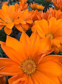 Drought and water restriction resistant Gazanias