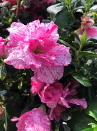 Summer watering is important for Azaleas