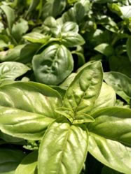 The most popular herb nowadays, Basil