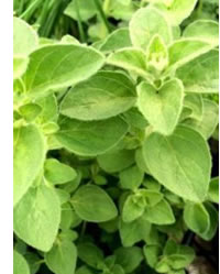 Look out for the HOT & SPICY Oregano