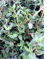 There are many different varieties of Thyme