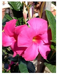 Mandevilla Alice du Pont are also known as Dipladenia