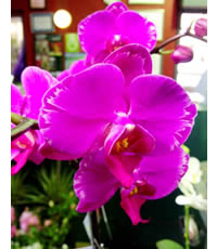 Moth Orchids are so opulent