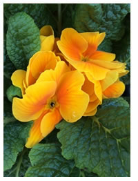 Yellow Primroses have a sweet fragrance