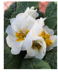 White Primroses will show up in the night garden when moonlit