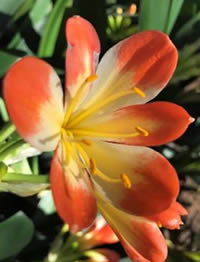 Clivia are collectable with unusual colours