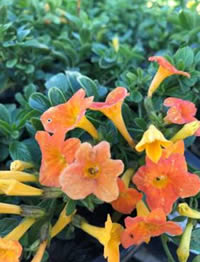 The citrus orange colour flowers on the Marmalade Bush