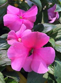 Divine Impatiens are our best selling impatiens for the shade