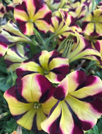 Petunia Queen of Hearts