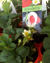 Strawberry Selecta has larger fruit
