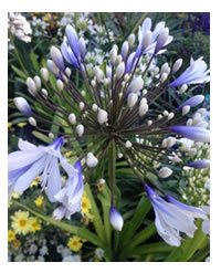 NEW - Two tone Agapanthus