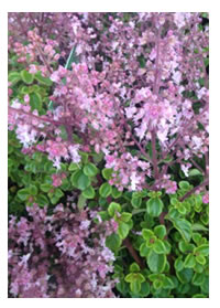 Must have - Pink Plectranthus Chemenii