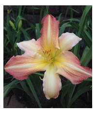 Daylily bloom time is from November to January
