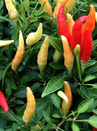 Chillies are rated on a heat scale to 10