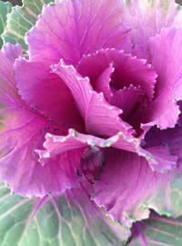 #GrowSomethingDifferent Ornamental Kale