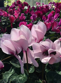 Plant up a bowl of Cyclamen