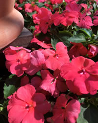 Impatiens are water wise planted in the right spot