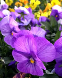 Did you know on pansy