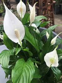 The Peace Lily also known as White Sails