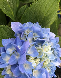 Feed to improve Hydrangea colour