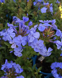 Indigenous to the Cape - Plumbago