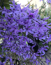 Petrea covers in flowers late spring