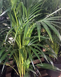 Bamboo Palms need high light