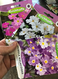 Primulas seed available in White, Purple and Mixed