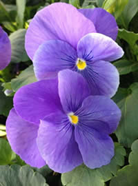 Each pansy plant will produce over 600 flowers!