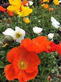 Create a splash of colour with poppies