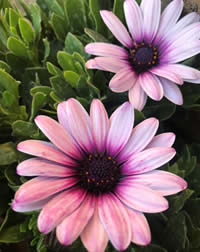 Cape daisies are not hungry plants