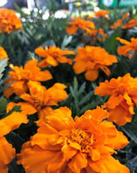 Marigolds are natures medicine