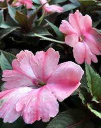We love Divine Impatiens for dappled shade