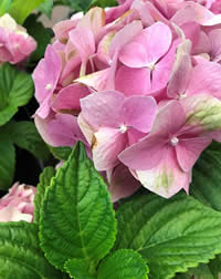 Check your Hydrangeas for Iron shortage