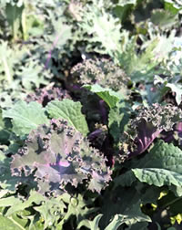 Grow your own Kale this year