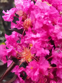 Crape Myrtles get our vote for plant of the year
