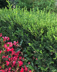 New growth on Buxus is a bright emerald