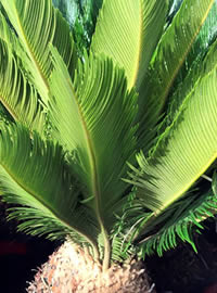 Cycas are not Cycads or Palms but are simmilar in appearence