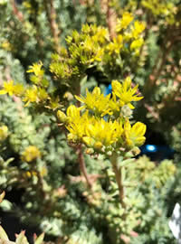 Blue leaf with yellow flowers