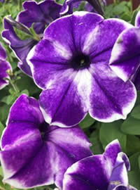 Petunia Ink Splash is a cascading variety