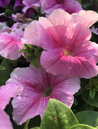 Petunias are bang on trend