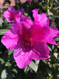 Grow Azaleas for Spring colour
