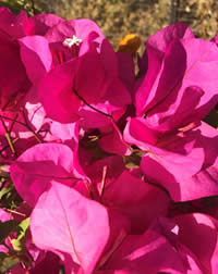 Clip your bougainvillea to shape