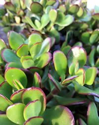 Crassula are also known as Jade Plants